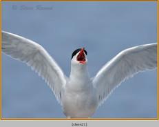 common-tern-21.jpg