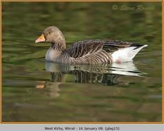 greylag-goose-15.jpg