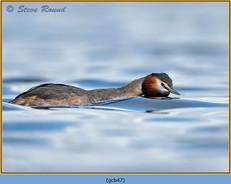 great-crested-grebe-47.jpg