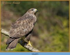 buzzard- 87.jpg