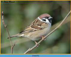 tree-sparrow-55.jpg