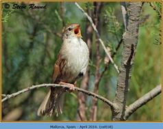 cettis-warbler-18.jpg