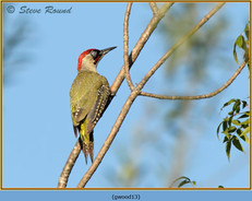 green-woodpecker-13.jpg