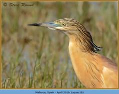 squacco-heron-16.jpg