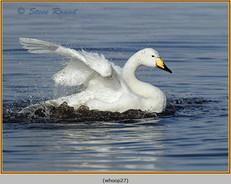 whooper-swan-27.jpg