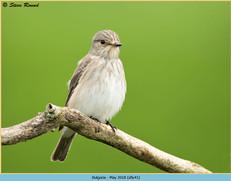 spotted-flycatcher-41.jpg