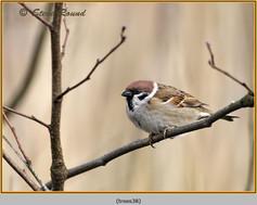 tree-sparrow-38.jpg