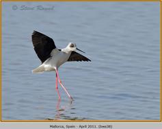 black-winged-stilt-38.jpg