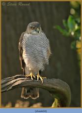 sparrowhawk-04.jpg