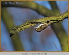 treecreeper-04.jpg