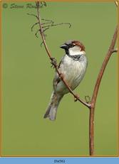 house-sparrow-56.jpg