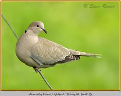 collared-dove-10.jpg