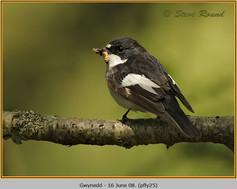pied-flycatcher-25.jpg