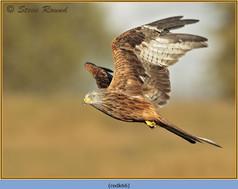red-kite-66.jpg