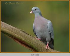 stock-dove-32.jpg