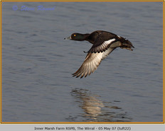 tufted-duck-22.jpg