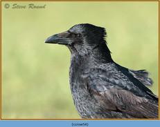 carrion-crow-54.jpg