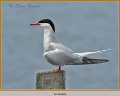 common-tern-19.jpg