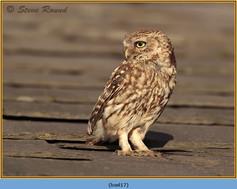 little-owl-17.jpg