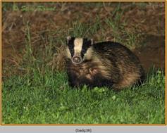 badger-38.jpg