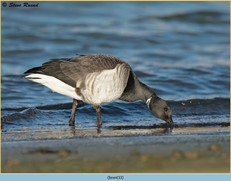 brent-goose-33.jpg
