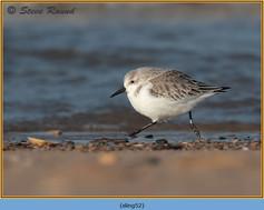 sanderling-52.jpg
