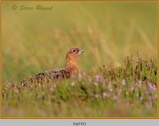 red-grouse-131.jpg