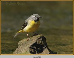 grey-wagtail-41.jpg