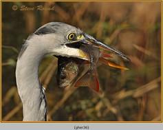 grey-heron-36.jpg