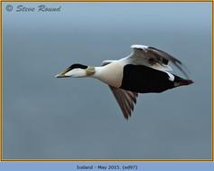 eider-duck- 97.jpg