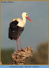white-stork-21.jpg