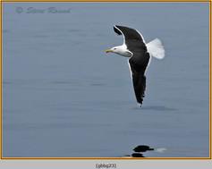 gt-b-backed-gull-23.jpg