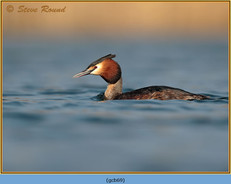 great-crested-grebe-69.jpg