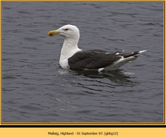 gt-b-backed-gull-12.jpg