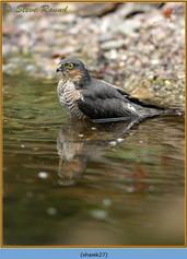 sparrowhawk-27.jpg
