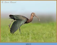 glossy-ibis-13.jpg