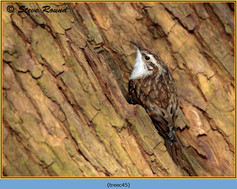 treecreeper-45.jpg