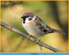 tree-sparrow-54.jpg