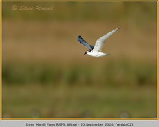 whiskered-tern-02.jpg