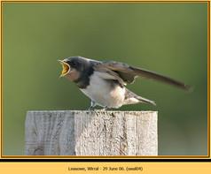 swallow-04.jpg