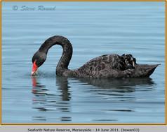black-swan-03.jpg