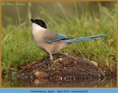 azure-winged-magpie-02.jpg