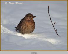 blackbird-72.jpg