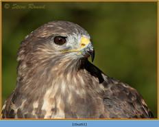 buzzard- 61.jpg