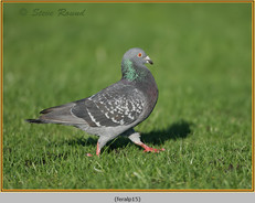 feral-pigeon-15.jpg