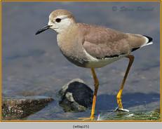 white-tailed-lapwing-25.jpg