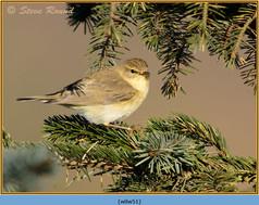 willow-warbler-51.jpg