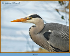 grey-heron-63.jpg