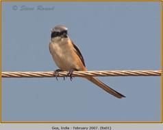 long-tailed-shrike-01.jpg