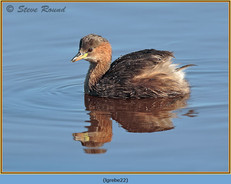 little-grebe-22.jpg